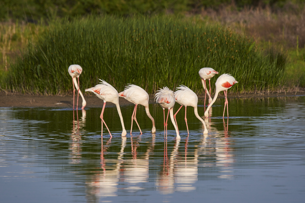 Flamingos on the wetlands or rocío