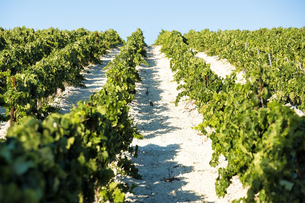 Wijngaarden met druiven