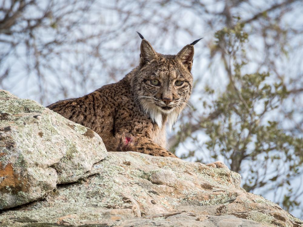 Iberishce Lynx in Doñana