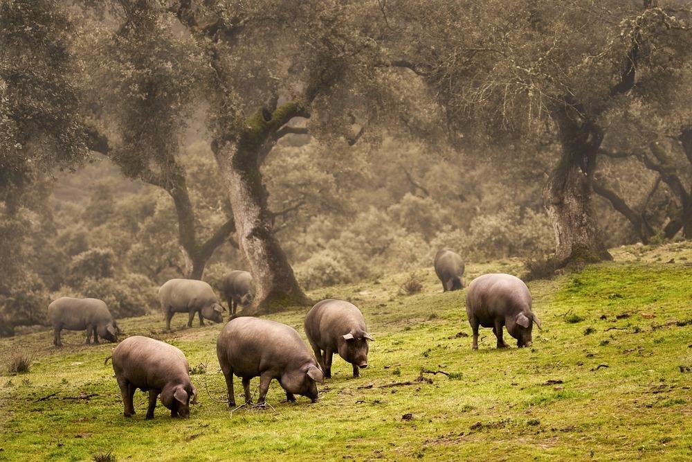 pata negra Schweine in Huelva