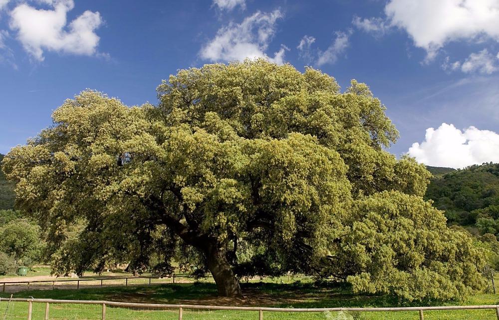 Chaparro de la Vega chêne vert
