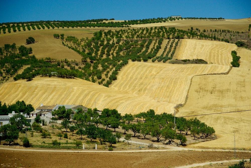 Olivares en Andalucía