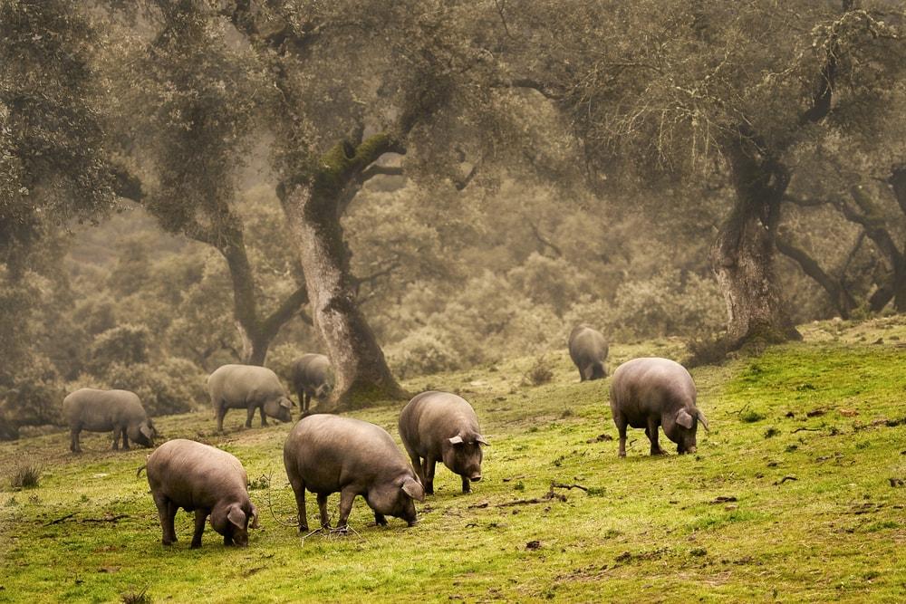 Varkens in het Natuurpark Sierra de Aracena y Pico de Aroche