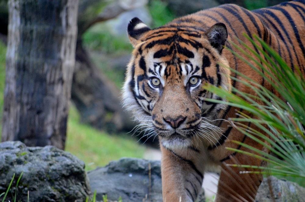 Tigre en el Bioparc Fuengirola (Ayuntamiento Fuengirola)